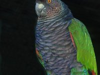 Dominica's National Bird, The Sisserou Parrot